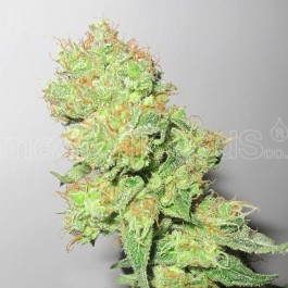 Y GRIEGA CBD - Samsara Seeds - Medical Seeds