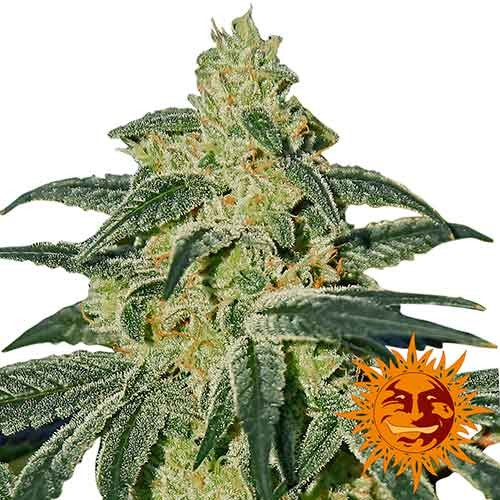 AFGHAN HASH PLANT REGULAR - 10 seeds - Barney's Farm - Seed Banks
