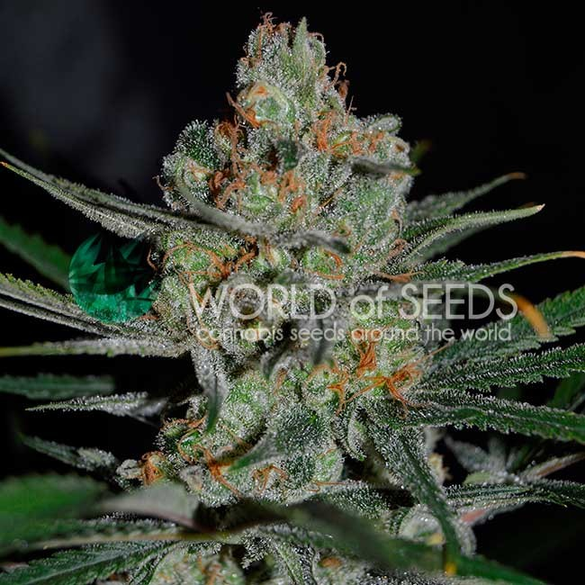 AFGHAN KUSH EARLY HARVEST - World of Seeds - Seed Banks