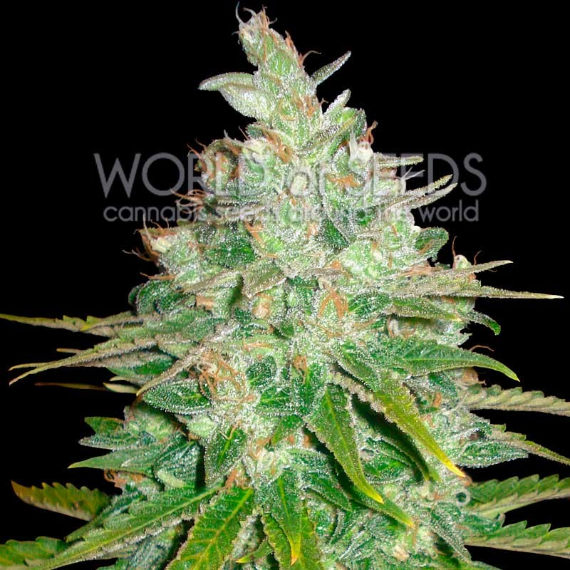 Afghan Kush x Black Domina - World of Seeds - Seed Banks