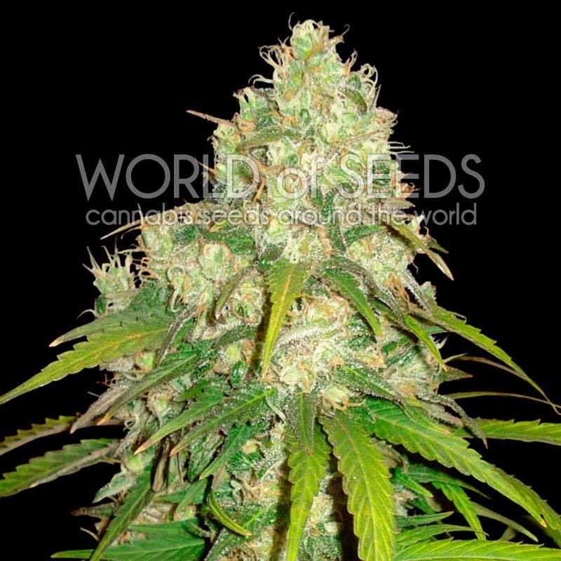 Afghan Kush x Yumbolt - World of Seeds - Seed Banks