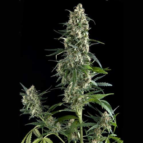 Amnesia Gold - Pyramid Seeds - Seed Banks