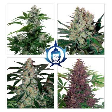 Assorted Auto - Buddha Seeds - Seed Banks