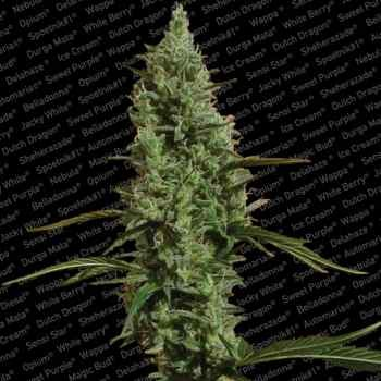 ATOMICAL HAZE - Paradise Seeds - Seed Banks