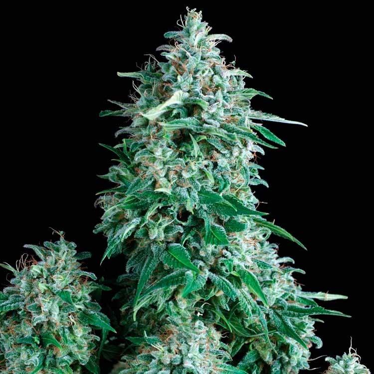 AUTO ANUBIS - Pyramid Seeds - Seed Banks