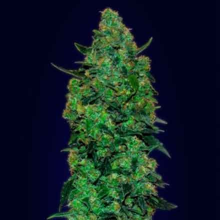 Auto Skunk Mass   - Advanced Seeds - Seed Banks