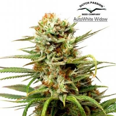 AUTO WHITE WIDOW  - Dutch Passion - Seed Banks