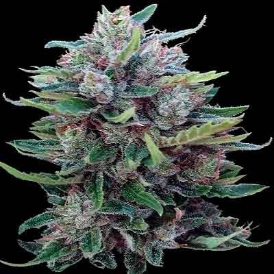 Bangui Haze –  - Ace Seeds - Seed Banks