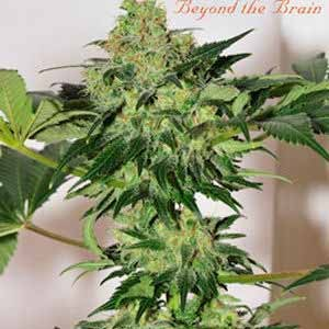 BEYOND THE BRAIN REGULAR - 10 SEEDS - Mandala Seeds - Seed Banks