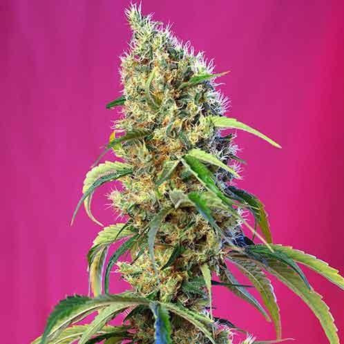 Black Jack CBD - Sweet Seeds - Seed Banks