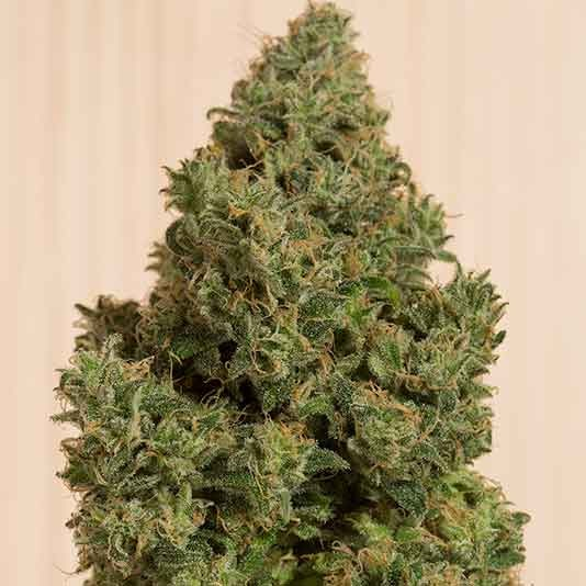 Blue Dream CBD - Humboldt Seeds - Seed Banks
