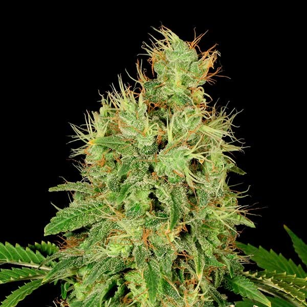 CBD-Chronic - Serious Seeds - Seed Banks