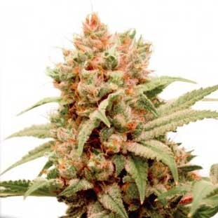 CBG-Force - Dutch Passion - Seed Banks