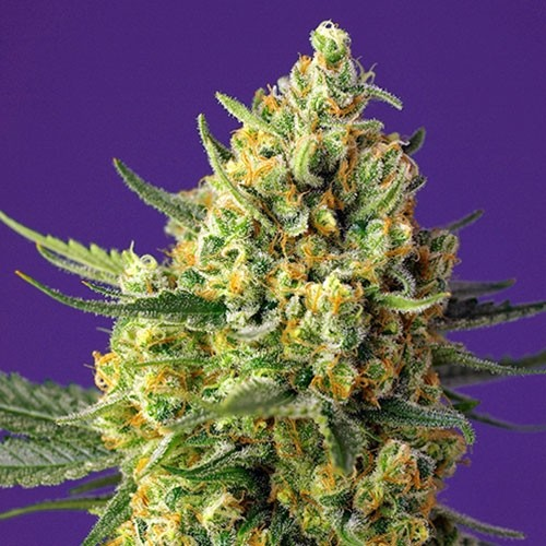 Crystal Candy XL Auto - Sweet Seeds - Seed Banks