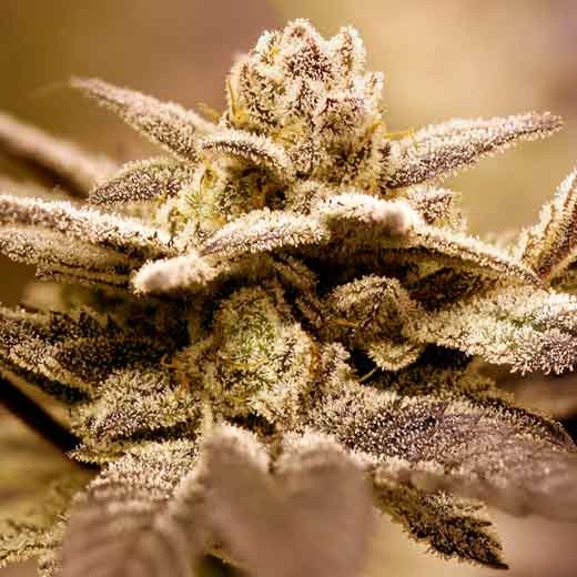 Dark Shadow Haze - 12 seeds - Rare Dankness - Seed Banks