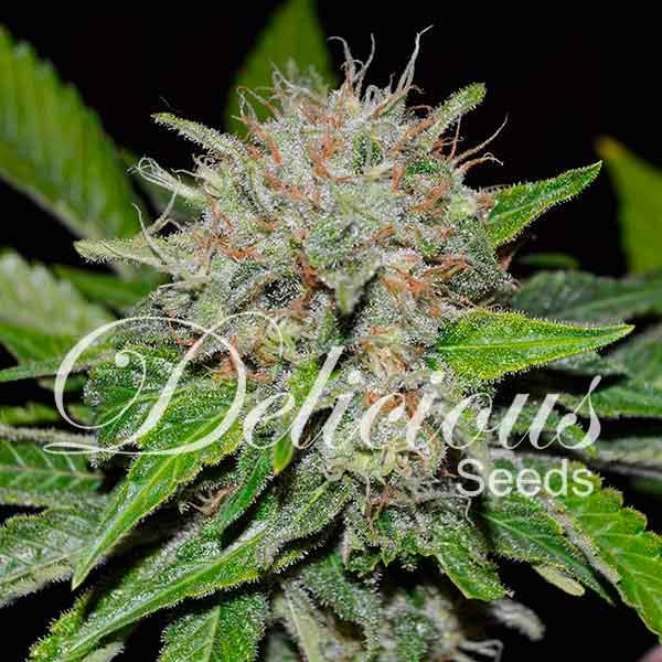 Deep Mandarine - Delicious Seeds - Seed Banks