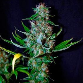 Diamond Head - 5 seeds - Sagarmatha - Seed Banks