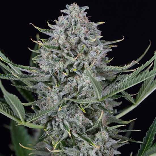 Cookies Autoflowering - Dinafem - Seed Banks