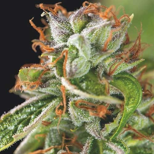 Double OG Haze  - Pyramid Seeds - Seed Banks