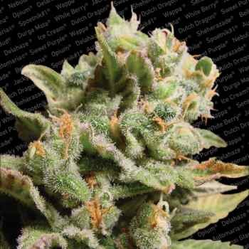 DUTCH DRAGON - Paradise Seeds - Seed Banks