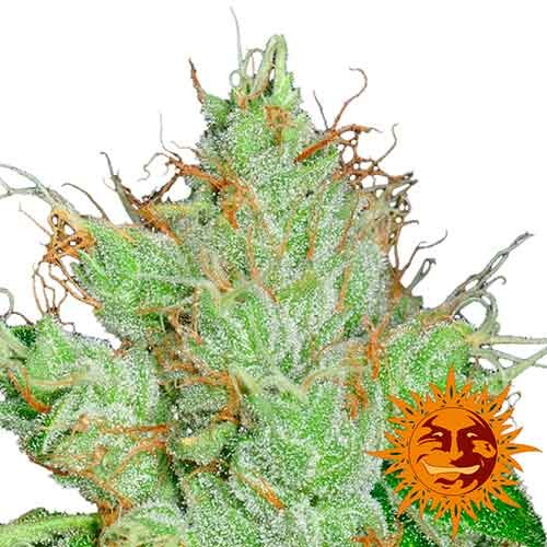 G13 HAZE REGULAR - 10 seeds - Barney's Farm - Seed Banks