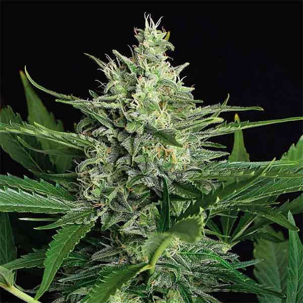 GREEN GUMMY AUTO - Exotic Seed - Seed Banks