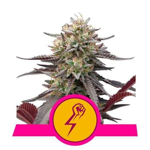 Green Punch - Royal Queen Seeds - Seed Banks