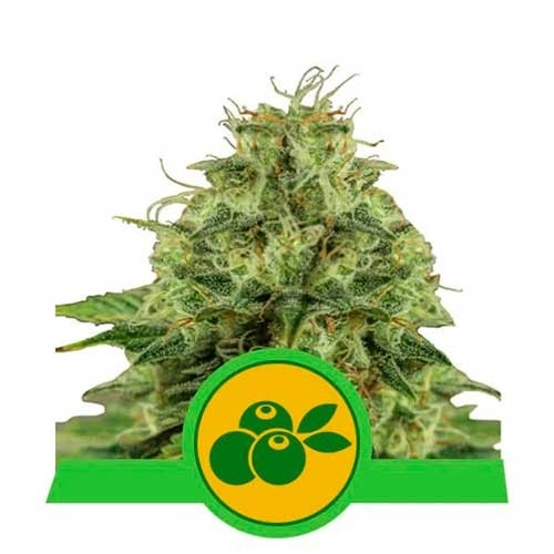 Haze Berry Automatic - Royal Queen Seeds - Seed Banks