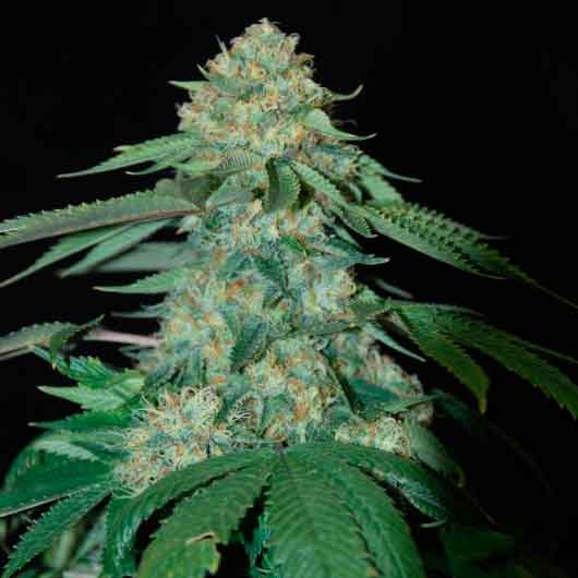 HOLY GRAIL KUSH - DNA genetics - Seed Banks