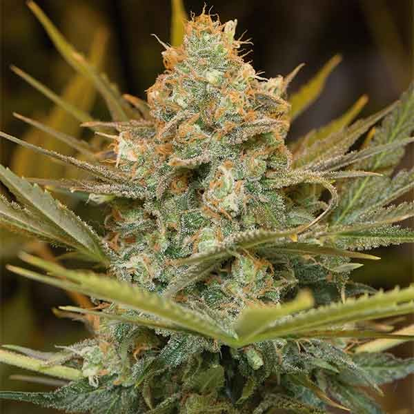 Three Blue Kings - Humboldt Seeds - Seed Banks