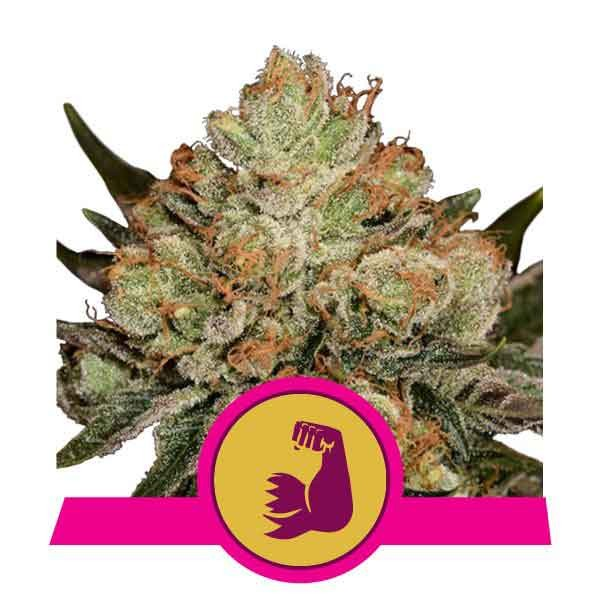 HulkBerry - Royal Queen Seeds - Seed Banks