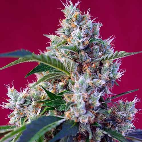 Indigo Berry Kush - Sweet Seeds - Seed Banks