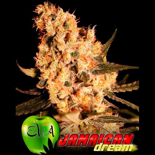 JAMAICAN DREAM - Eva Seeds - Seed Banks