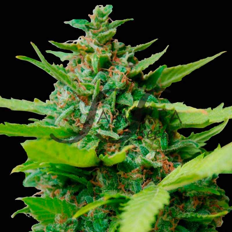 Kiss Dragon - FEMINIZADAS - Samsara Seeds
