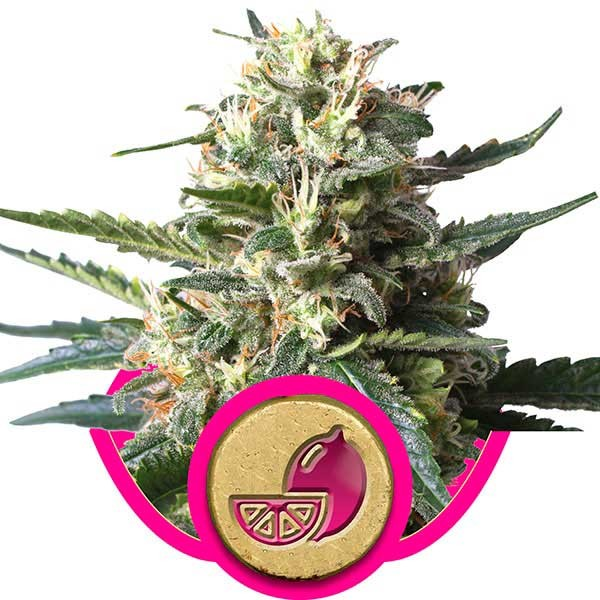 Lemon Shining Silver Haze - Royal Queen Seeds - Seed Banks