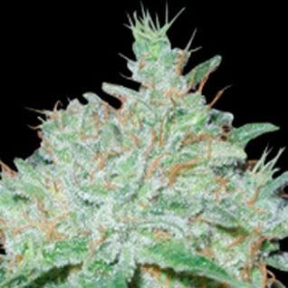 Lowboldt - 5 seeds - Sagarmatha - Seed Banks