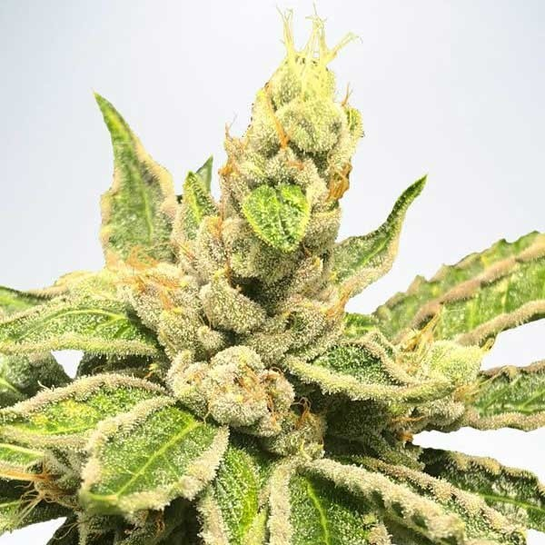 MAMACITA'S COOKIES - Ministry of Cannabis - Seed Banks