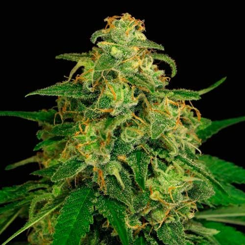 MANGO CREAM - Exotic Seed - Seed Banks
