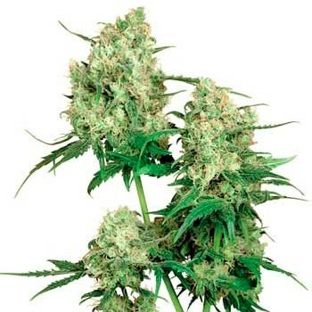MAPLE LEAF INDICA REGULAR - Sensi Seeds - Seed Banks