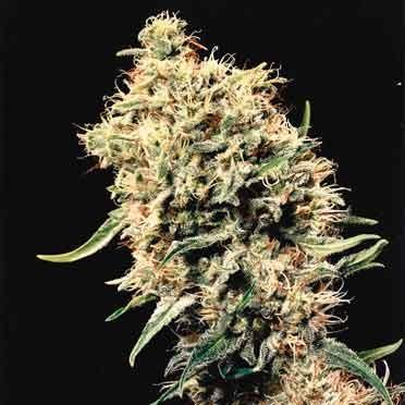 Medicine Man - 15 Seeds - Mr. Nice - Seed Banks