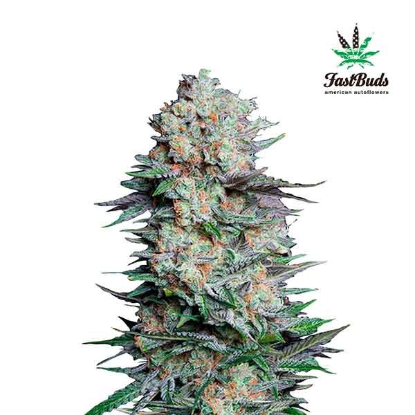 MEXICAN AIRLINES - FastBuds - Seed Banks