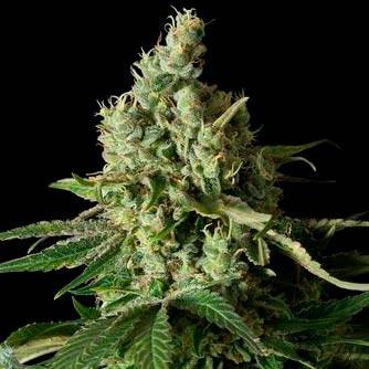 MOBY DICK CBD - Dinafem - Seed Banks