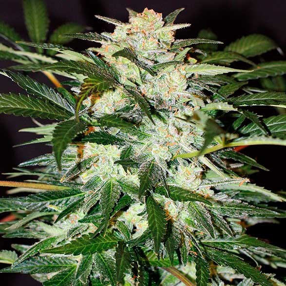 MONSTER MASH AUTO - Exotic Seed - Seed Banks
