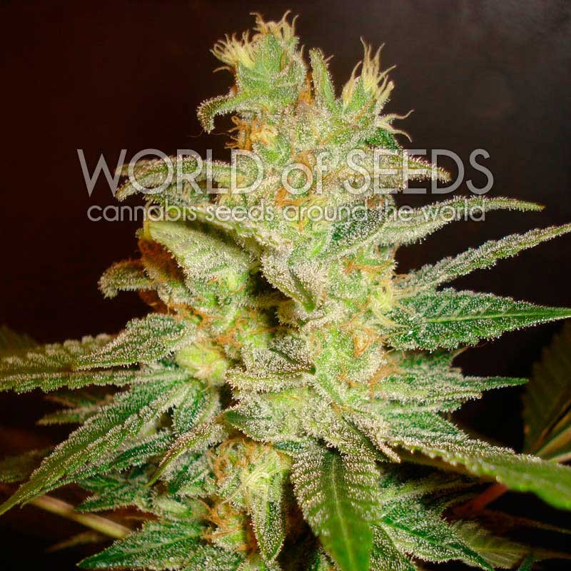 Northern Light x Big Bud - World of Seeds - Seed Banks