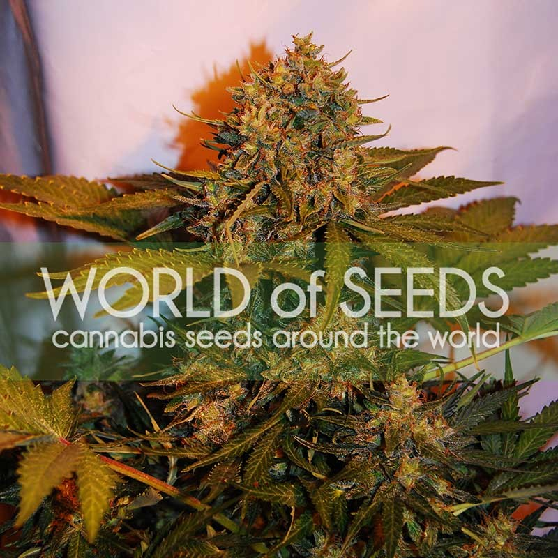 NORTHERN LIGHTS X BIG BUD RYDER - World of Seeds - Seed Banks