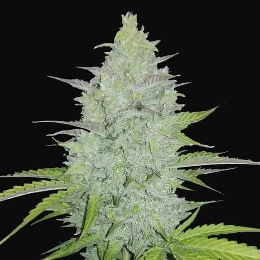 Cheese Auto - FastBuds - Seed Banks