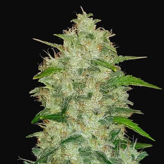 Chemdawg Auto - FastBuds - Seed Banks