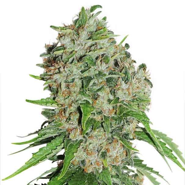 Outlaw Amnesia - Dutch Passion - Seed Banks