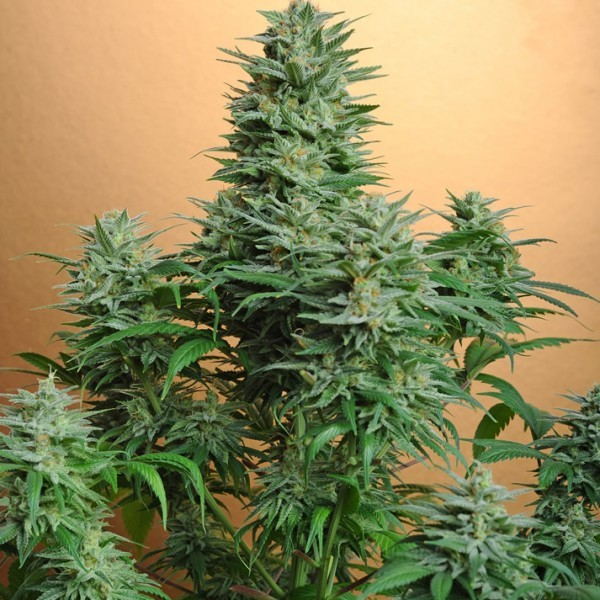PAPAYA FEM 5 SEEDS - Nirvana - Seed Banks