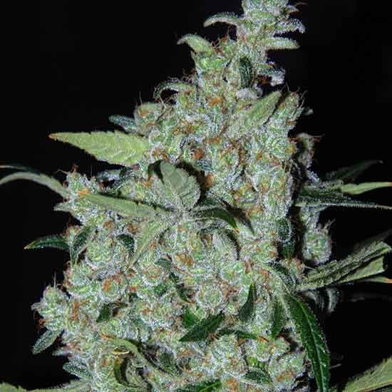 Purple Mexican  - Cannabiogen - Seed Banks